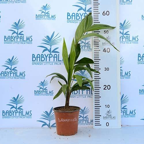 dypsis lanceolata palmera tropical