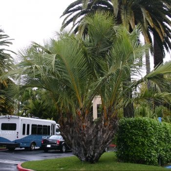 palmerara tropical jubaeopsis caffra