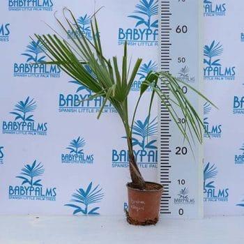 palmera brahea elegans