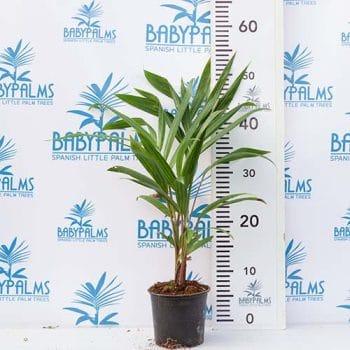 palmera tropical dypsis cabadae grupo