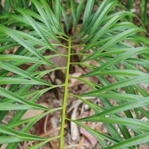 Cycas micholitzii 1