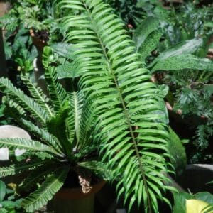 Cycas revoluta x debaoensis1