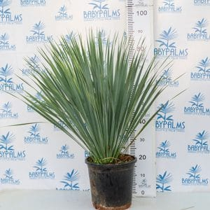 yucca rostrata m26