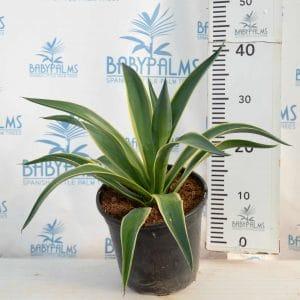 agave desmetiiana