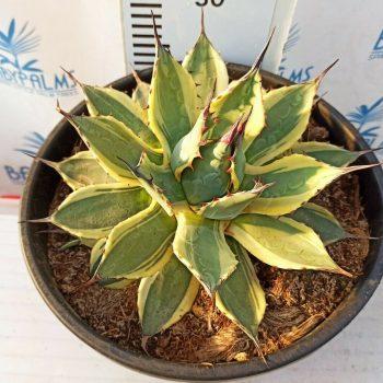 agave applanata variegata