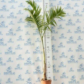 Chamaedorea radicaux arborescens